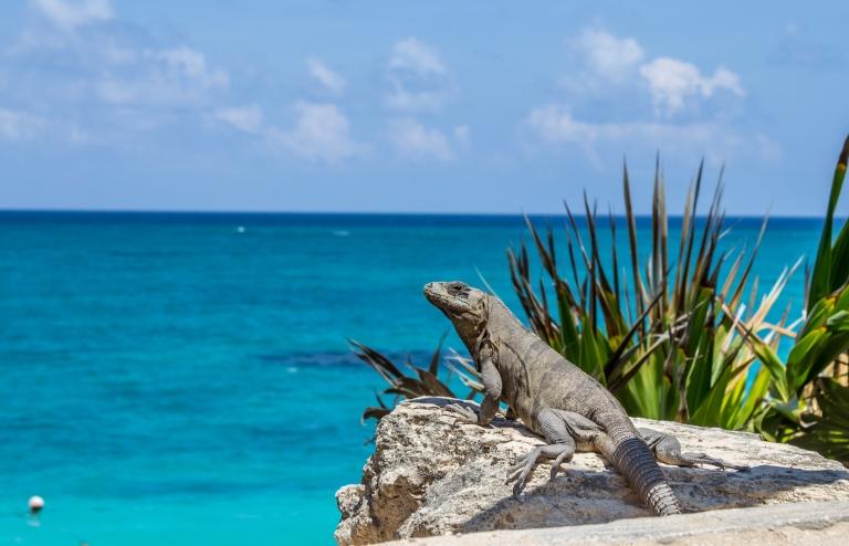 Leguan der nyder udsigten ud over havet.