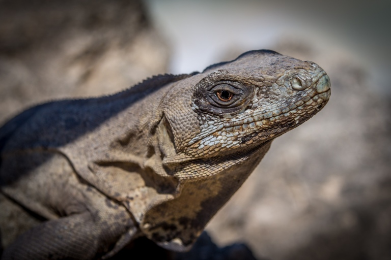 Close-up af leguan.